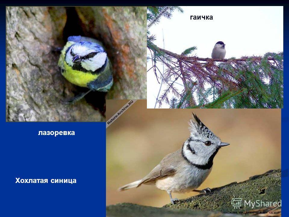 лазоревка Хохлатая синица гаичка