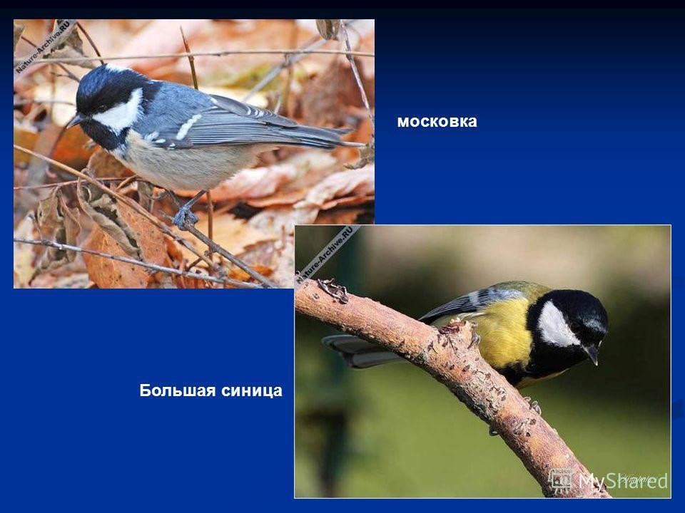 московка Большая синица