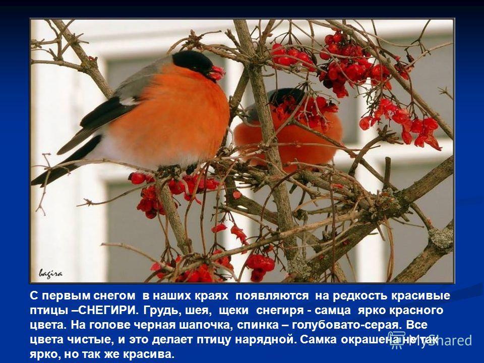 С первым снегом в наших краях появляются на редкость красивые птицы –СНЕГИРИ. Грудь, шея, щеки снегиря - самца ярко красного цвета. На голове черная шапочка, спинка – голубовато-серая. Все цвета чистые, и это делает птицу нарядной. Самка окрашена не