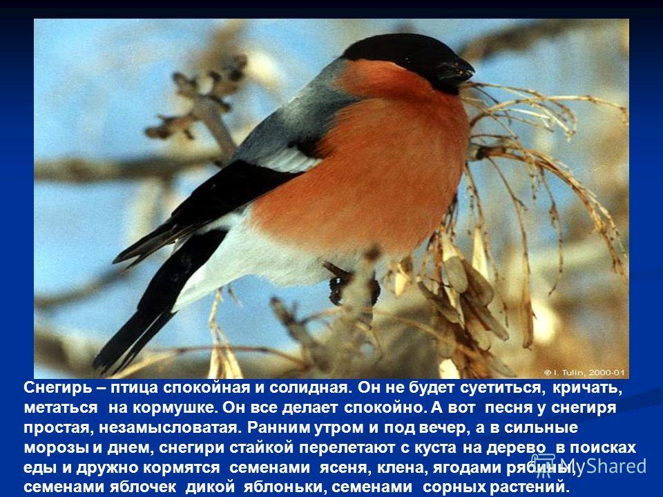Снегирь – птица спокойная и солидная. Он не будет суетиться, кричать, метаться на кормушке. Он все делает спокойно. А вот песня у снегиря простая, незамысловатая. Ранним утром и под вечер, а в сильные морозы и днем, снегири стайкой перелетают с куста