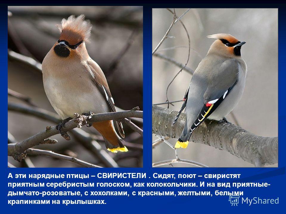 А эти нарядные птицы – СВИРИСТЕЛИ. Сидят, поют – свиристят приятным серебристым голоском, как колокольчики. И на вид приятные- дымчато-розоватые, с хохолками, с красными, желтыми, белыми крапинками на крылышках.