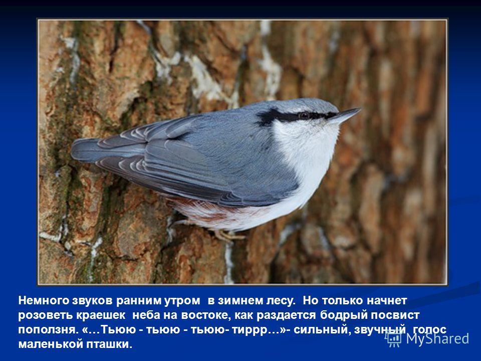 Немного звуков ранним утром в зимнем лесу. Но только начнет розоветь краешек неба на востоке, как раздается бодрый посвист поползня. «…Тьюю - тьюю - тьюю- тиррр…»- сильный, звучный голос маленькой пташки.