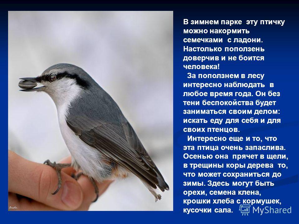 В зимнем парке эту птичку можно накормить семечками с ладони. Настолько поползень доверчив и не боится человека! За поползнем в лесу интересно наблюдать в любое время года. Он без тени беспокойства будет заниматься своим делом: искать еду для себя и