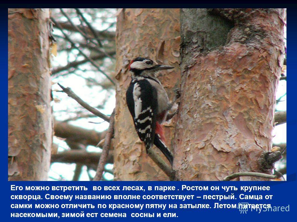Его можно встретить во всех лесах, в парке. Ростом он чуть крупнее скворца. Своему названию вполне соответствует – пестрый. Самца от самки можно отличить по красному пятну на затылке. Летом питается насекомыми, зимой ест семена сосны и ели.