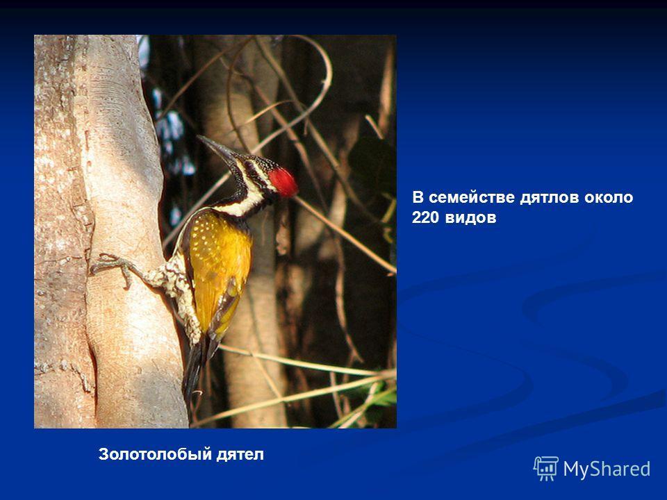 Золотолобый дятел В семействе дятлов около 220 видов