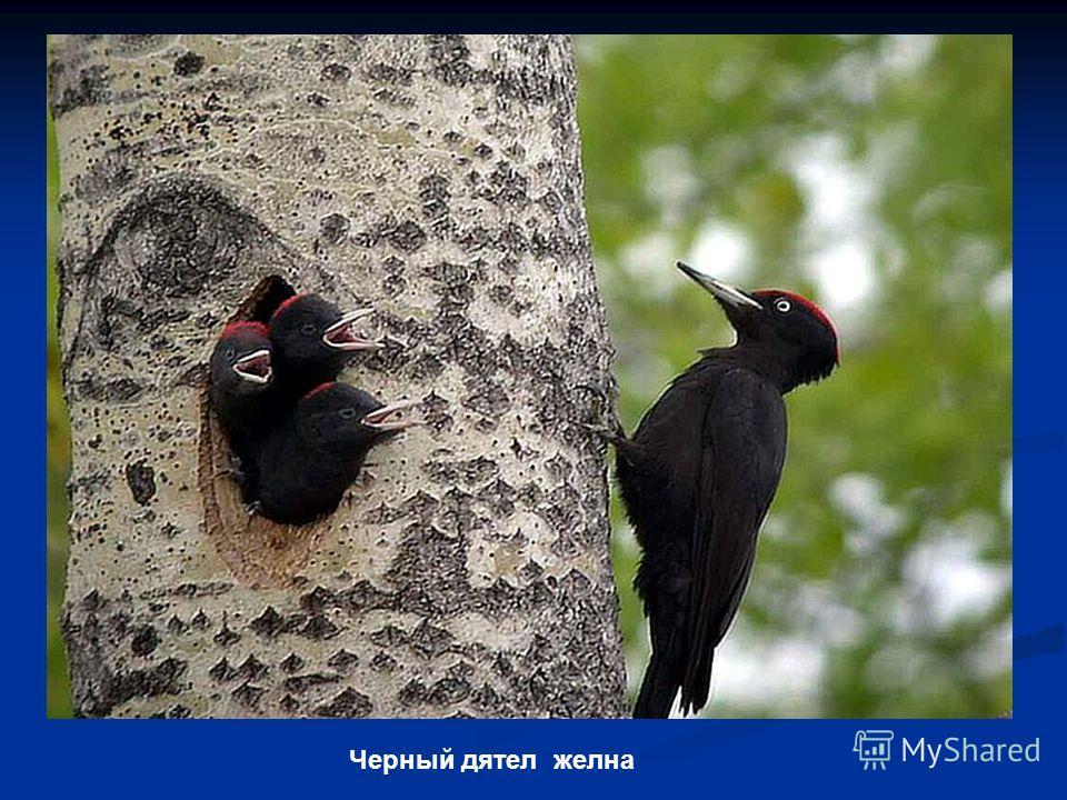 Черный дятел желна