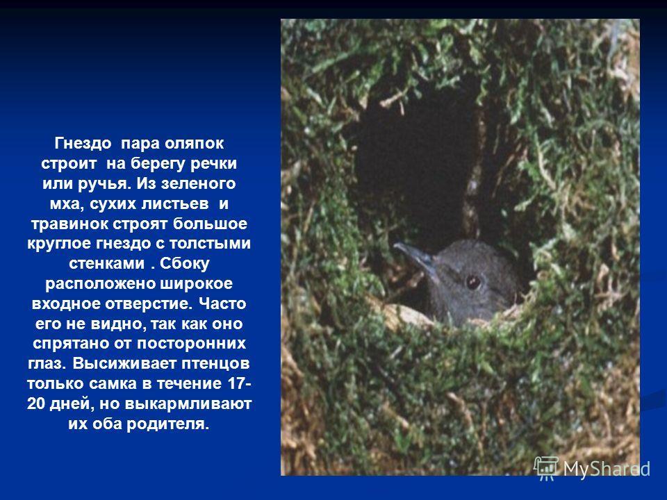 Гнездо пара оляпок строит на берегу речки или ручья. Из зеленого мха, сухих листьев и травинок строят большое круглое гнездо с толстыми стенками. Сбоку расположено широкое входное отверстие. Часто его не видно, так как оно спрятано от посторонних гла
