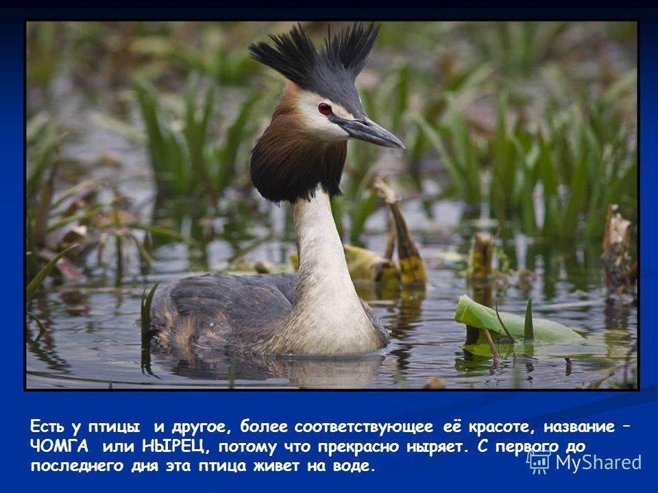 Есть у птицы и другое, более соответствующее её красоте, название – ЧОМГА или НЫРЕЦ, потому что прекрасно ныряет. С первого до последнего дня эта птица живет на воде.