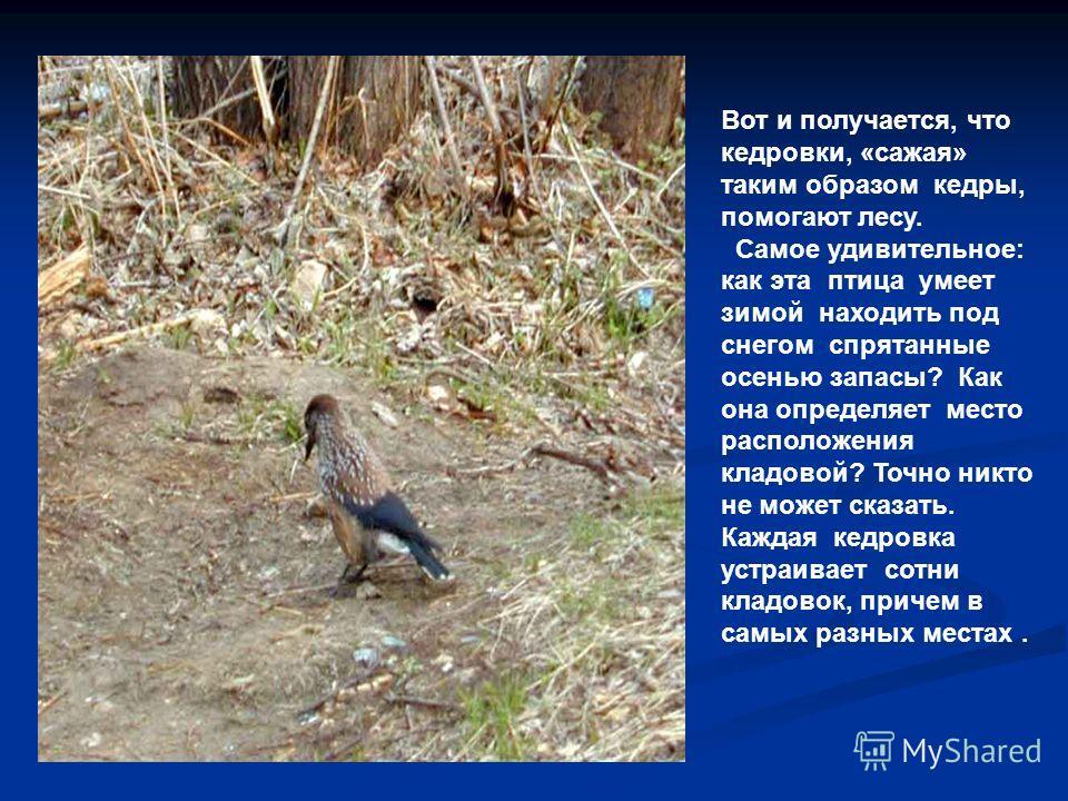 Вот и получается, что кедровки, «сажая» таким образом кедры, помогают лесу. Самое удивительное: как эта птица умеет зимой находить под снегом спрятанные осенью запасы? Как она определяет место расположения кладовой? Точно никто не может сказать. Кажд