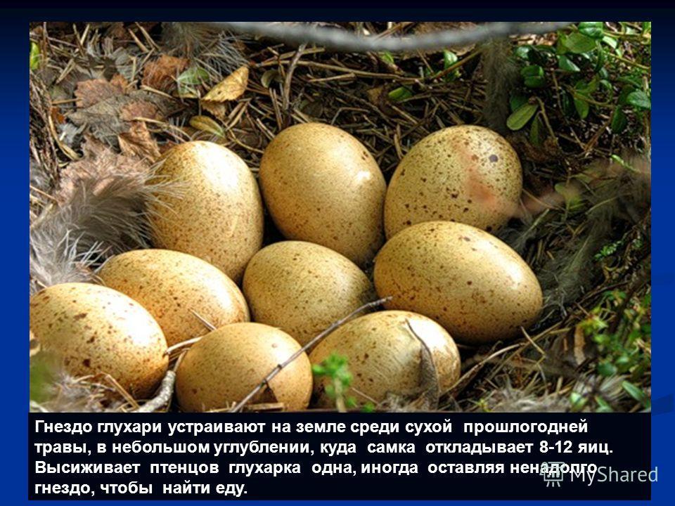 Гнездо глухари устраивают на земле среди сухой прошлогодней травы, в небольшом углублении, куда самка откладывает 8-12 яиц. Высиживает птенцов глухарка одна, иногда оставляя ненадолго гнездо, чтобы найти еду.