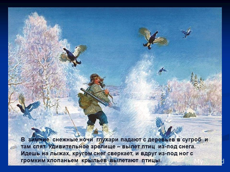 В зимние снежные ночи глухари падают с деревьев в сугроб и там спят. Удивительное зрелище – вылет птиц из-под снега. Идешь на лыжах, кругом снег сверкает, и вдруг из-под ног с громким хлопаньем крыльев вылетают птицы.