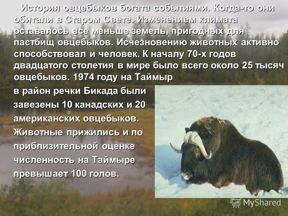 История овцебыков богата событиями. Когда-то они обитали в Старом Свете. Изменением климата оставалось все меньше земель, пригодных для пастбищ овцебыков. Исчезновению животных активно способствовал и человек. К началу 70-х годов двадцатого столетия