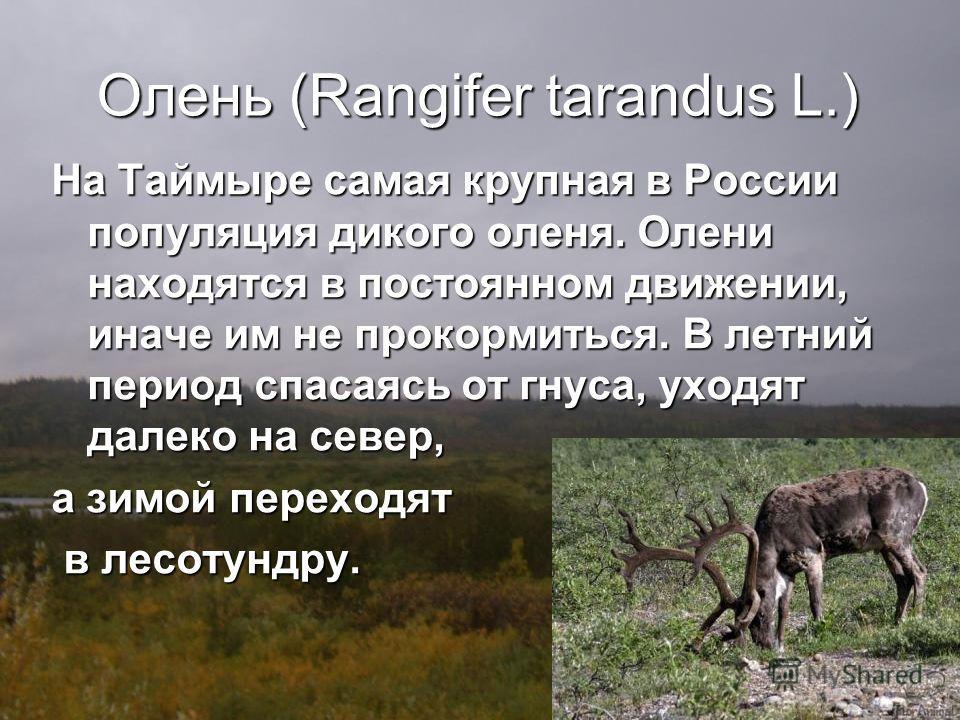 Олень (Rangifer tarandus L.) На Таймыре самая крупная в России популяция дикого оленя. Олени находятся в постоянном движении, иначе им не прокормиться. В летний период спасаясь от гнуса, уходят далеко на север, а зимой переходят в лесотундру. в лесот