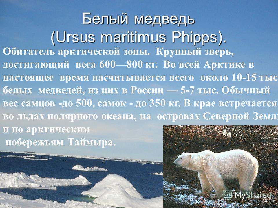 Белый медведь (Ursus maritimus Phipps). Обитатель арктической зоны. Крупный зверь, достигающий веса 600800 кг. Во всей Арктике в настоящее время насчитывается всего около 10-15 тыс. белых медведей, из них в России 5-7 тыс. Обычный вес самцов -до 500,