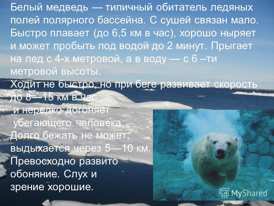 Белый медведь типичный обитатель ледяных полей полярного бассейна. С сушей связан мало. Быстро плавает (до 6,5 км в час), хорошо ныряет и может пробыть под водой до 2 минут. Прыгает на лед с 4-х метровой, а в воду с 6 –ти метровой высоты. Ходит не бы