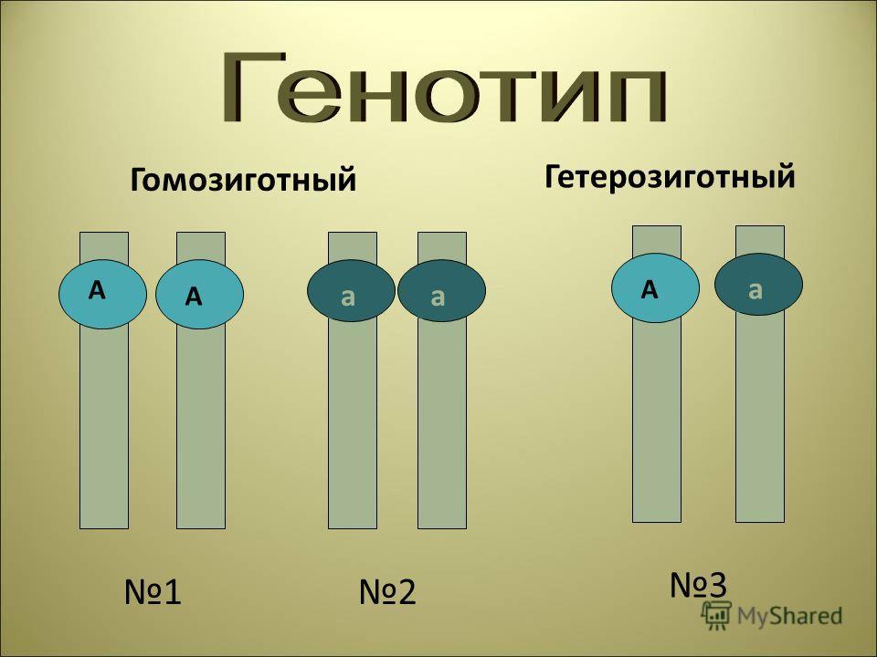 Гомозиготный Гетерозиготный А а А А аа 12 3