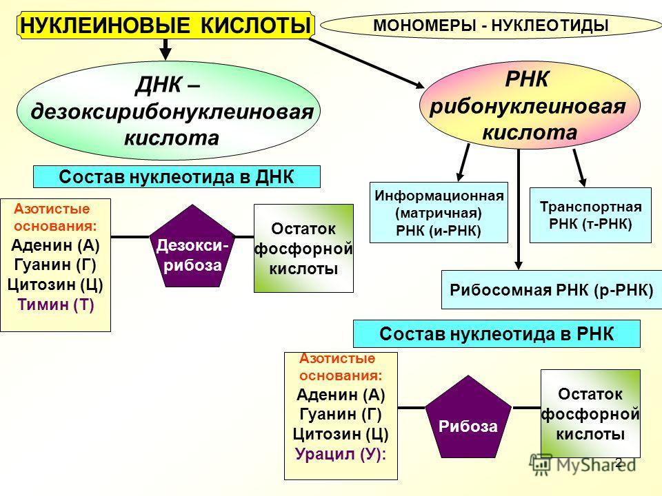 РНК рибонуклеиновая