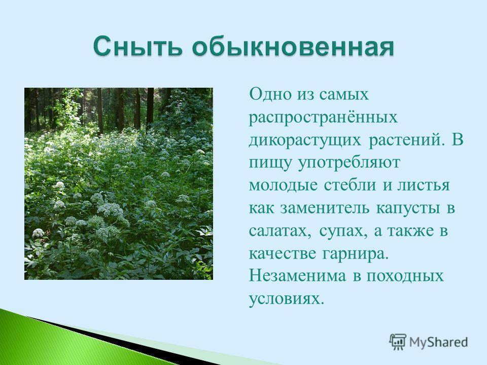 Одно из самых распространённых дикорастущих растений. В пищу употребляют молодые стебли и листья как заменитель капусты в салатах, супах, а также в качестве гарнира. Незаменима в походных условиях.