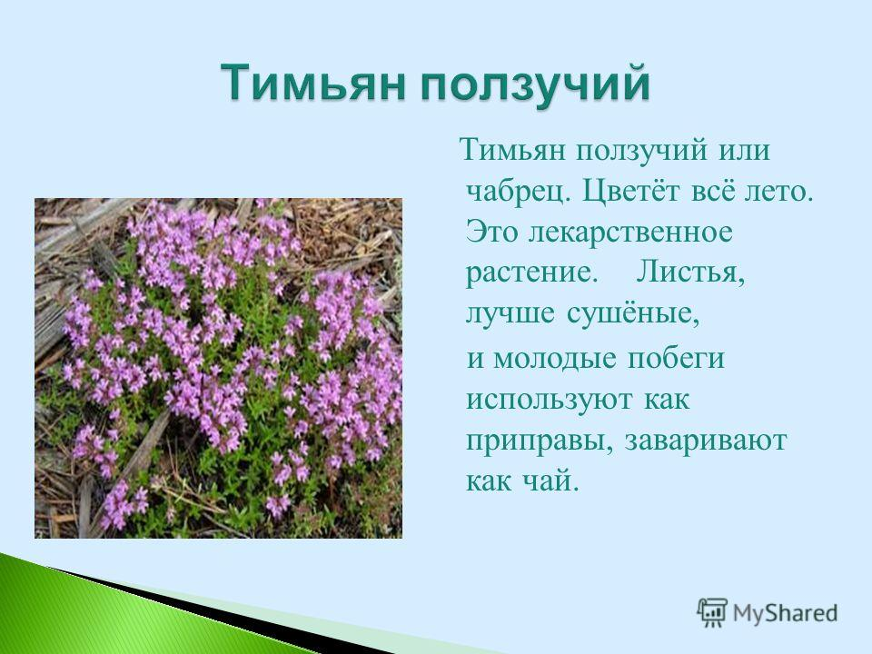 Тимьян ползучий или чабрец. Цветёт всё лето. Это лекарственное растение. Листья, лучше сушёные, и молодые побеги используют как приправы, заваривают как чай.