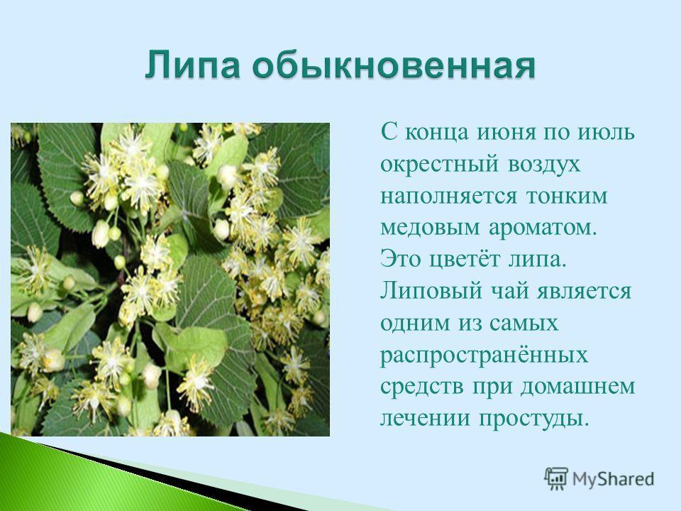 С конца июня по июль окрестный воздух наполняется тонким медовым ароматом. Это цветёт липа. Липовый чай является одним из самых распространённых средств при домашнем лечении простуды.