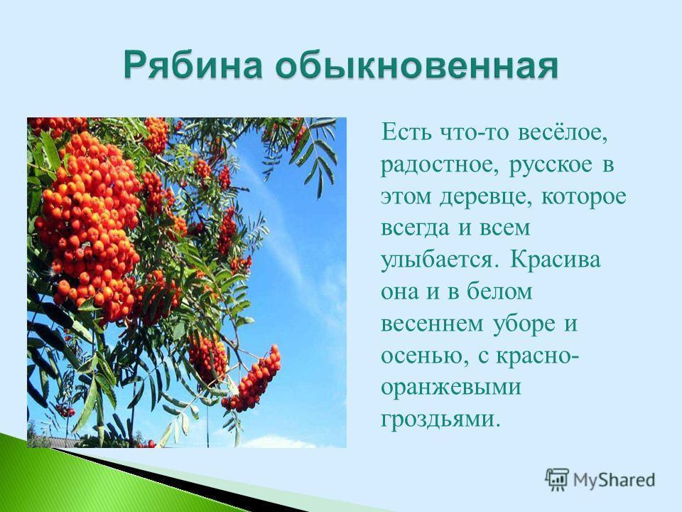 Есть что-то весёлое, радостное, русское в этом деревце, которое всегда и всем улыбается. Красива она и в белом весеннем уборе и осенью, с красно- оранжевыми гроздьями.