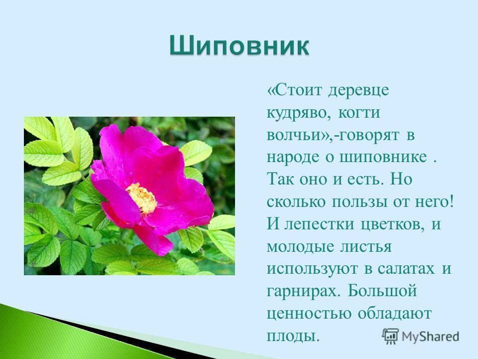 «Стоит деревце кудряво, когти волчьи»,-говорят в народе о шиповнике. Так оно и есть. Но сколько пользы от него! И лепестки цветков, и молодые листья используют в салатах и гарнирах. Большой ценностью обладают плоды.