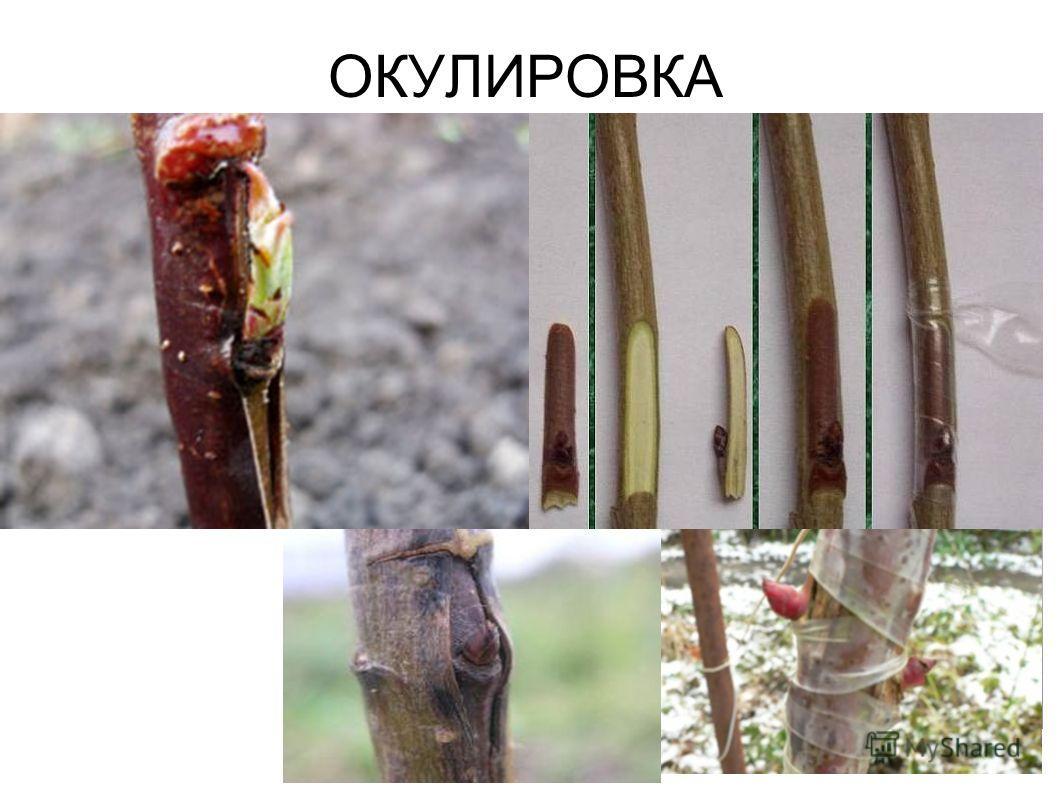 ОКУЛИРОВКА