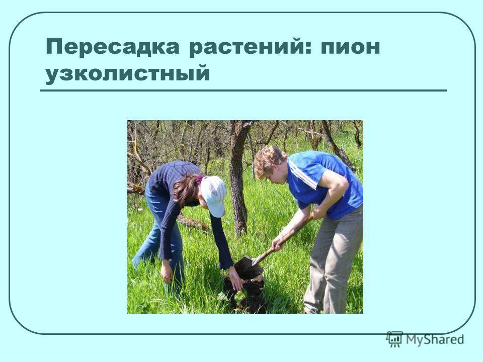 Пересадка растений: пион узколистный