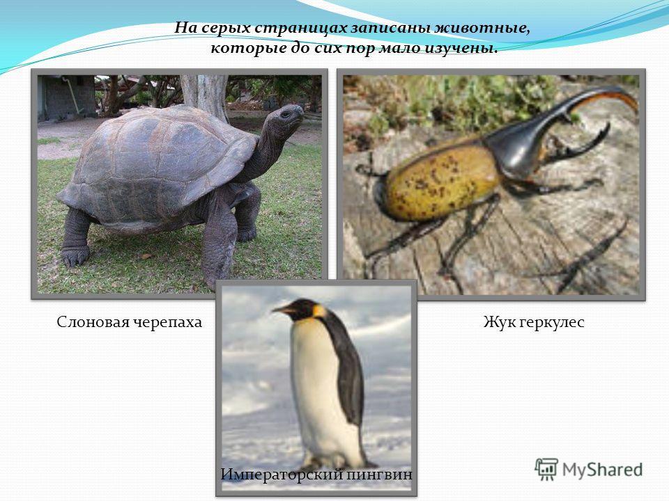 На серых страницах записаны животные, которые до сих пор мало изучены. Слоновая черепахаЖук геркулес Императорский пингвин