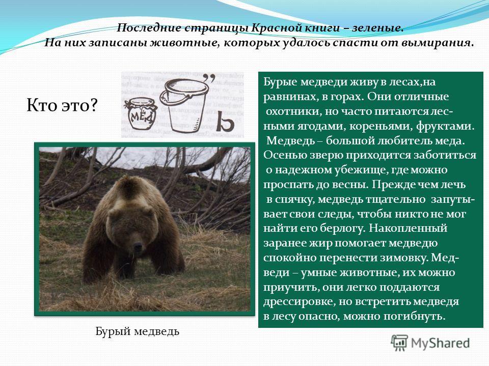 Последние страницы Красной книги – зеленые. На них записаны животные, которых удалось спасти от вымирания. Кто это? Бурый медведь Бурые медведи живу в лесах,на равнинах, в горах. Они отличные охотники, но часто питаются лес- ными ягодами, кореньями,