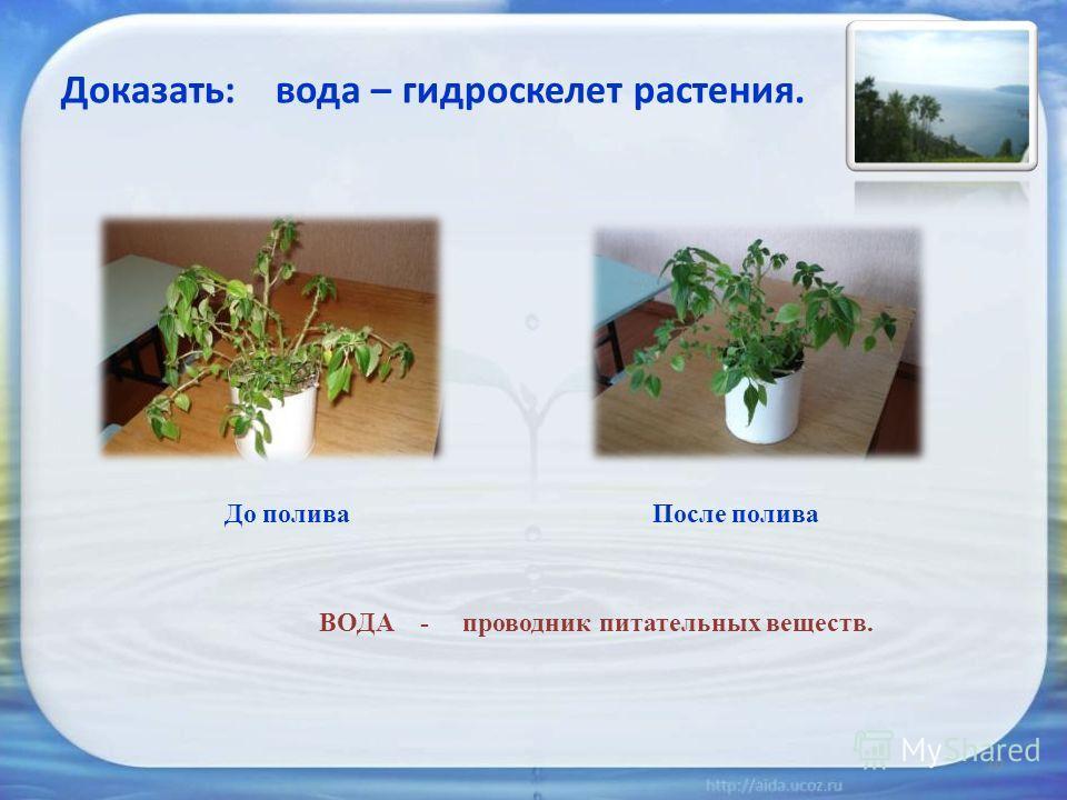 ВОДА - проводник питательных веществ. Доказать: вода – гидроскелет растения. До поливаПосле полива 10