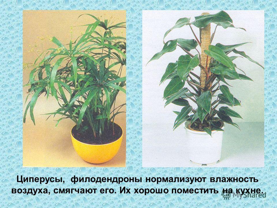 Циперусы, филодендроны нормализуют влажность воздуха, смягчают его. Их хорошо поместить на кухне.