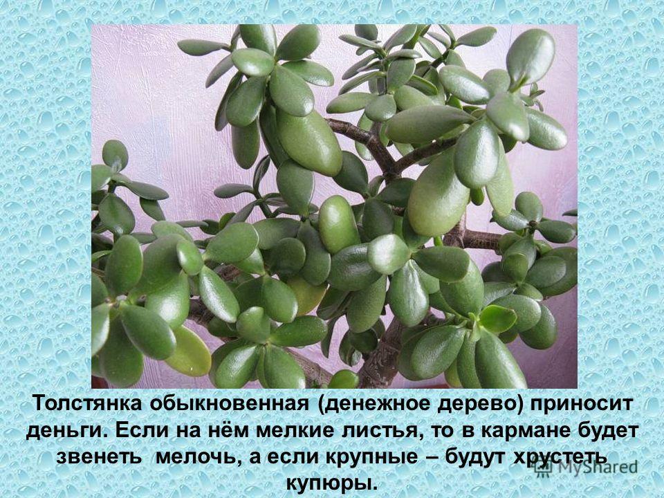 Толстянка обыкновенная (денежное дерево) приносит деньги. Если на нём мелкие листья, то в кармане будет звенеть мелочь, а если крупные – будут хрустеть купюры.