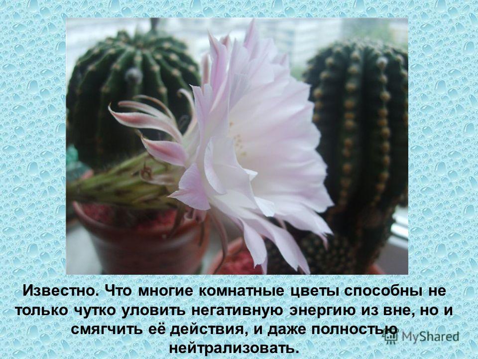 Известно. Что многие комнатные цветы способны не только чутко уловить негативную энергию из вне, но и смягчить её действия, и даже полностью нейтрализовать.