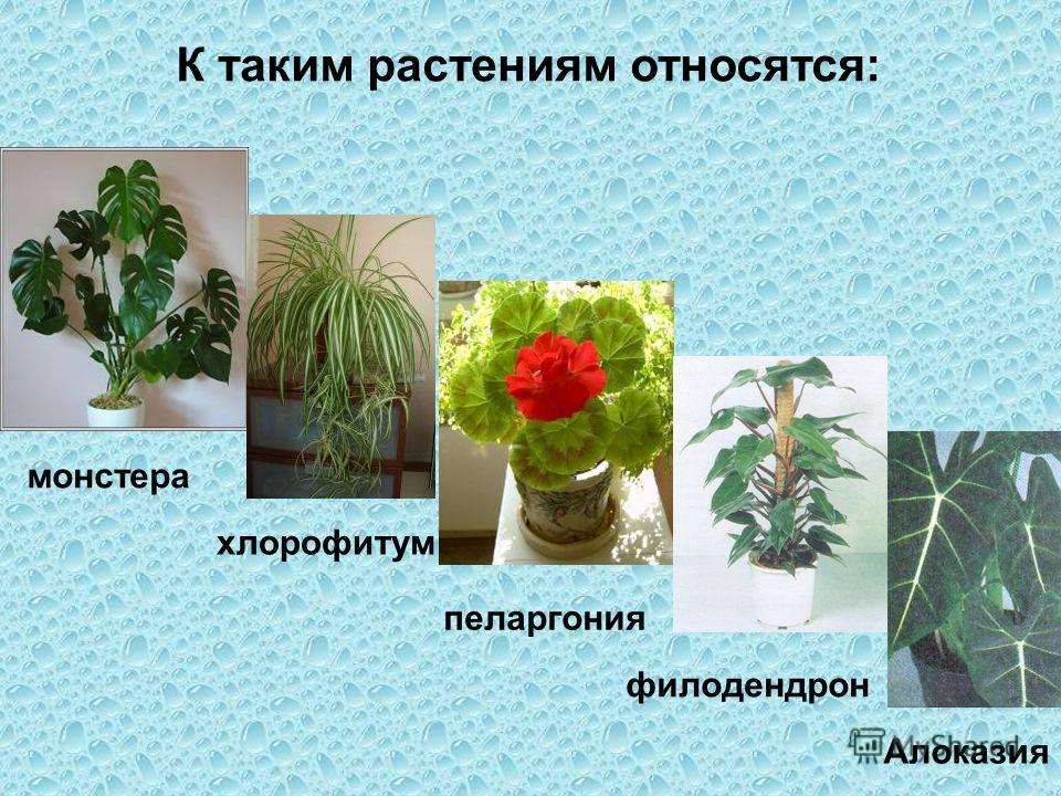 К таким растениям относятся: монстера хлорофитум пеларгония Алоказия филодендрон