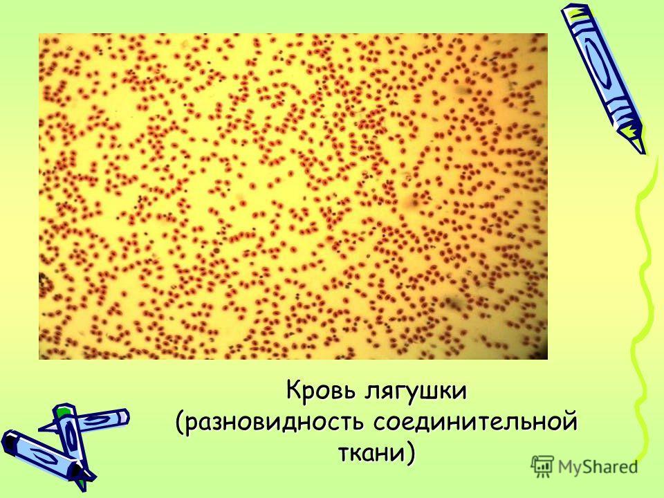 Кровь лягушки (разновидность соединительной ткани)