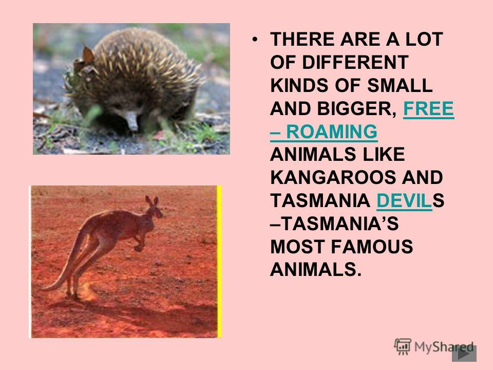 THERE ARE A LOT OF DIFFERENT KINDS OF SMALL AND BIGGER, FREE – ROAMING ANIMALS LIKE KANGAROOS AND TASMANIA DEVILS –TASMANIAS MOST FAMOUS ANIMALS.FREE – ROAMINGDEVIL
