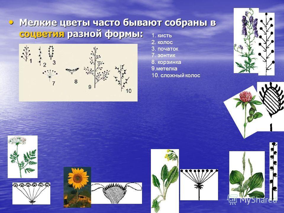Мелкие цветы часто бывают собраны в соцветия разной формы: Мелкие цветы часто бывают собраны в соцветия разной формы: 1. кисть 2. колос 3. початок 7. зонтик 8. корзинка 9.метелка 10. сложный колос