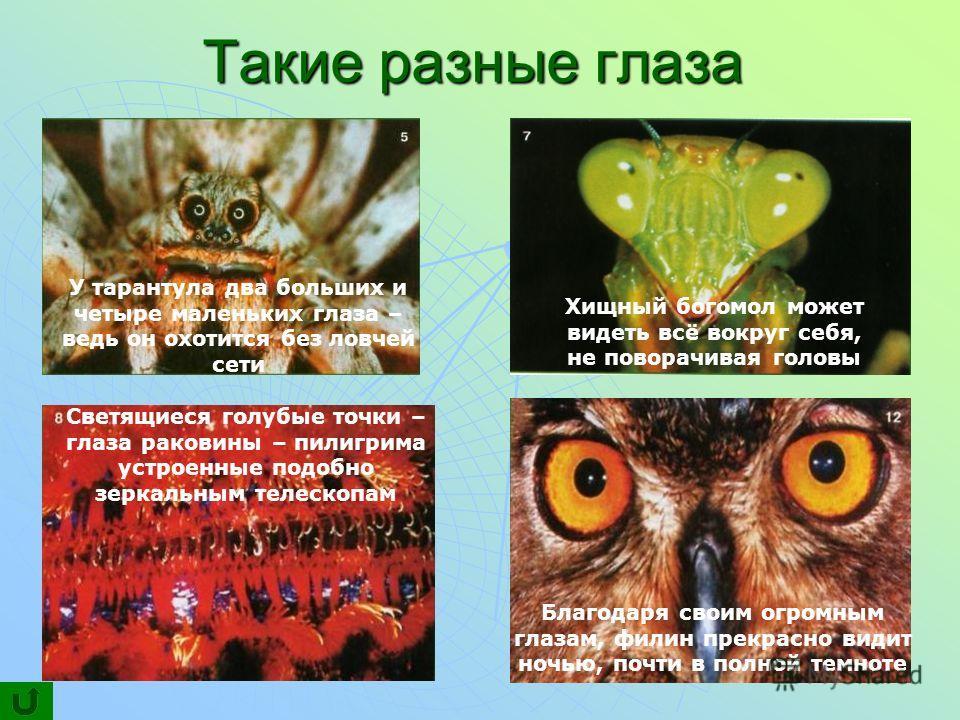 Такие разные глаза У тарантула два больших и четыре маленьких глаза – ведь он охотится без ловчей сети Хищный богомол может видеть всё вокруг себя, не поворачивая головы Светящиеся голубые точки – глаза раковины – пилигрима устроенные подобно зеркаль