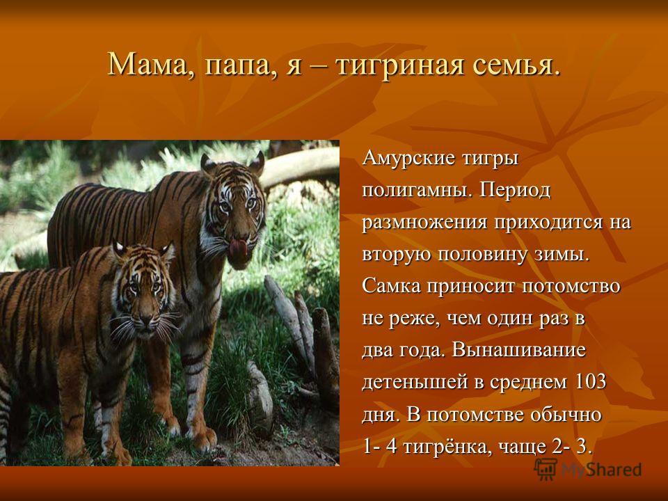 Мама, папа, я – тигриная семья. Амурские тигры полигамны. Период размножения приходится на вторую половину зимы. Самка приносит потомство не реже, чем один раз в два года. Вынашивание детенышей в среднем 103 дня. В потомстве обычно 1- 4 тигрёнка, чащ