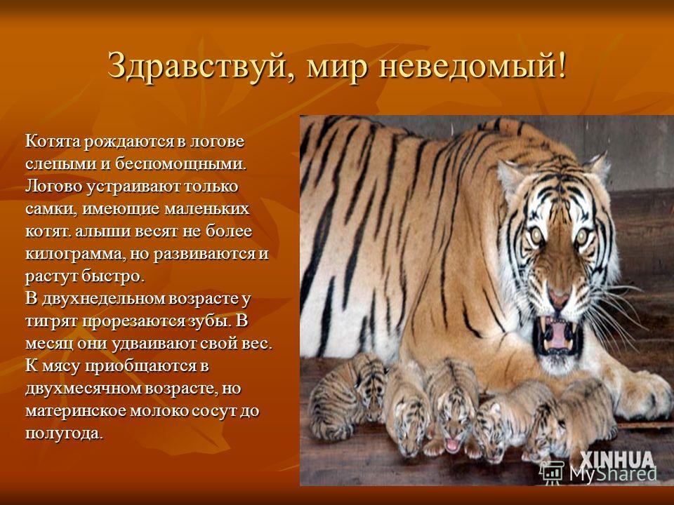 Здравствуй, мир неведомый! Котята рождаются в логове слепыми и беспомощными. Логово устраивают только самки, имеющие маленьких котят. алыши весят не более килограмма, но развиваются и растут быстро. В двухнедельном возрасте у тигрят прорезаются зубы.