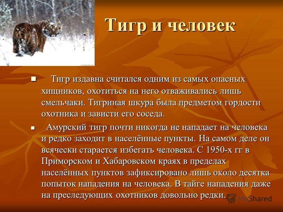 Тигр и человек Тигр и человек Тигр издавна считался одним из самых опасных хищников, охотиться на него отваживались лишь смельчаки. Тигриная шкура была предметом гордости охотника и зависти его соседа. Тигр издавна считался одним из самых опасных хищ
