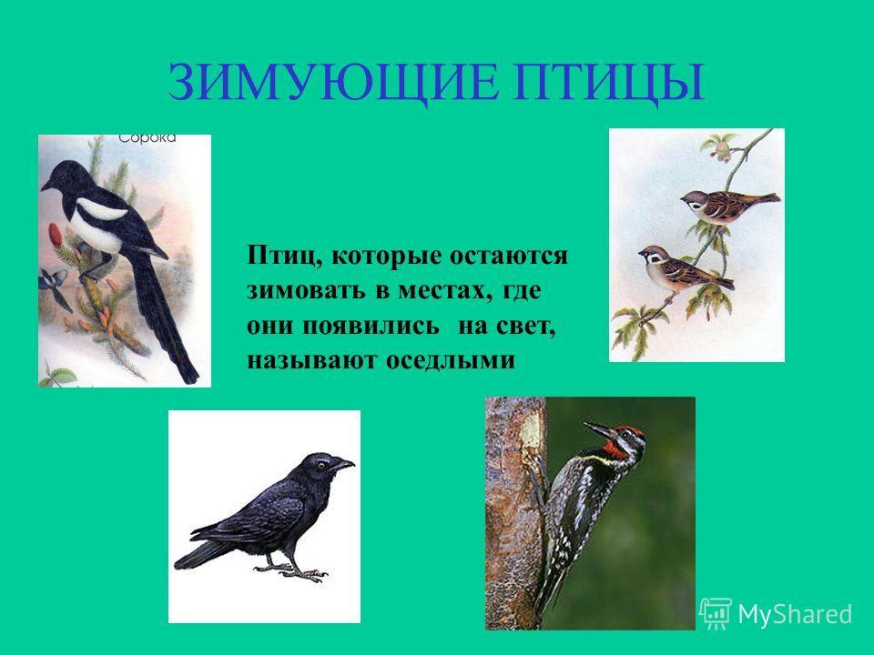 ЗИМУЮЩИЕ ПТИЦЫ Птиц, которые остаются зимовать в местах, где они появились на свет, называют оседлыми
