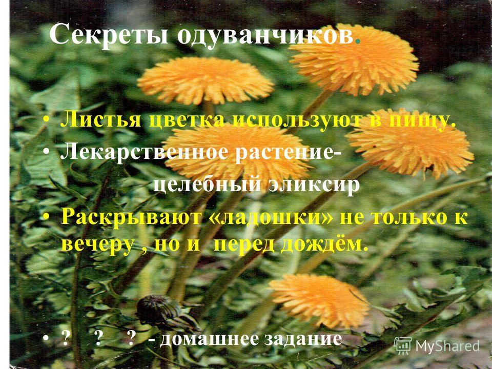 Секреты одуванчиков. Листья цветка используют в пищу. Лекарственное растение- целебный эликсир Раскрывают «ладошки» не только к вечеру, но и перед дождём. ? ? ? - домашнее задание