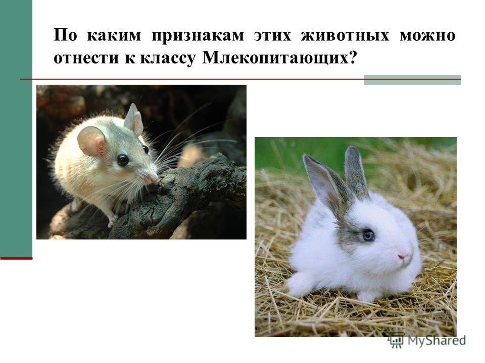 Цели урока: Доказать, что Грызуны и Зайцеобразные относятся к классу Млекопитающих; Выявить признаки животных изучаемых отрядов; Познакомиться с многообразием изучаемых отрядов; Доказать, что Грызуны и Зайцеобразные имеют большое значение в биоценоза