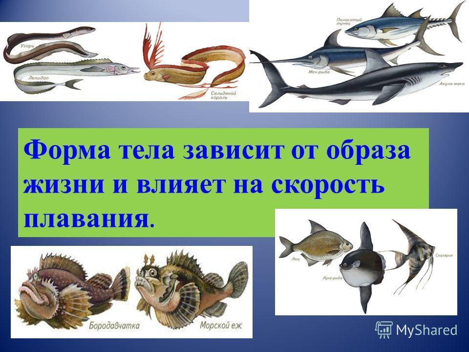 Форма тела зависит от образа жизни и влияет на скорость плавания.