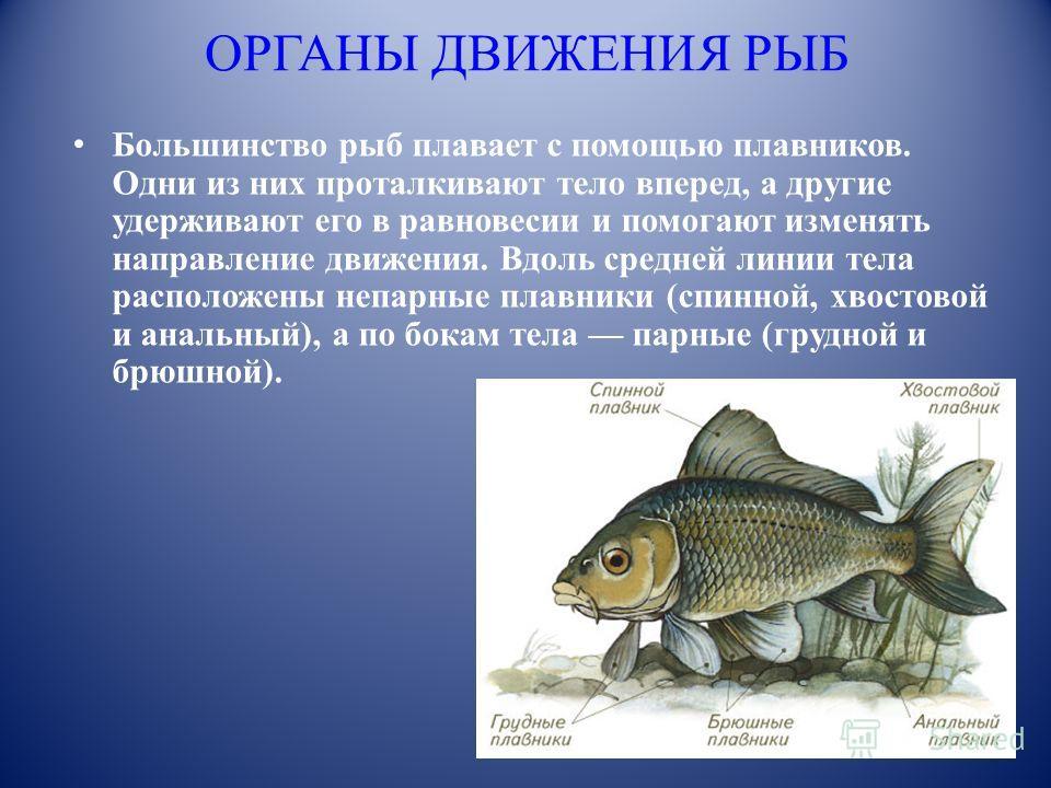 ОРГАНЫ ДВИЖЕНИЯ РЫБ Большинство рыб плавает с помощью плавников. Одни из них проталкивают тело вперед, а другие удерживают его в равновесии и помогают изменять направление движения. Вдоль средней линии тела расположены непарные плавники (спинной, хво