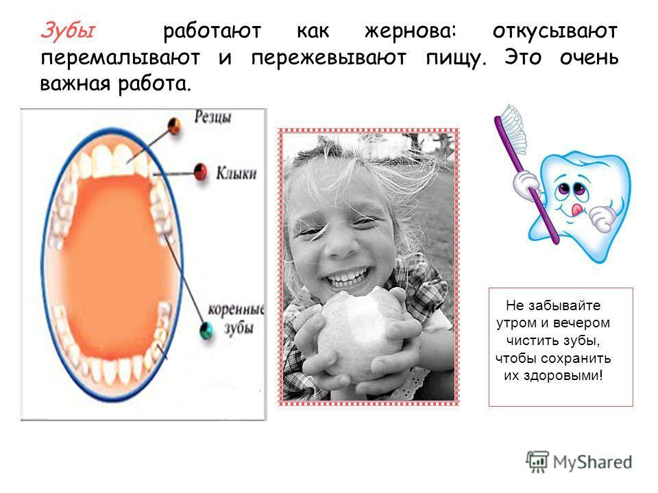 Зубы работают как жернова: откусывают перемалывают и пережевывают пищу. Это очень важная работа. Не забывайте утром и вечером чистить зубы, чтобы сохранить их здоровыми!