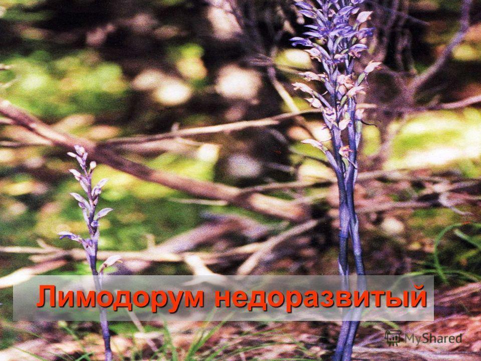 Лимодорум недоразвитый