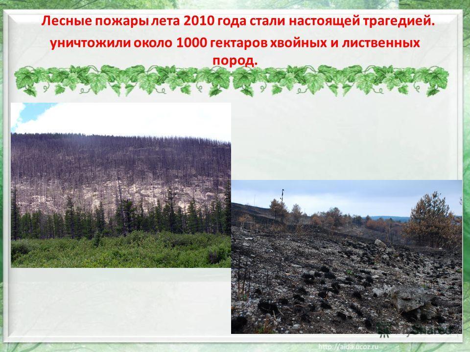 Лесные пожары лета 2010 года стали настоящей трагедией. уничтожили около 1000 гектаров хвойных и лиственных пород.